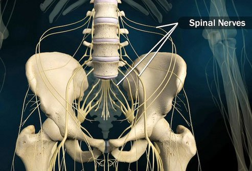 The nerves that branch out from your spine in your lower back help your brain control your legs and the organs in your pelvis.