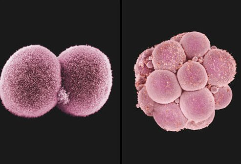 embryo undergoing cell division