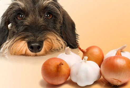 dogs should avoid onions