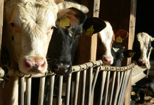 "Several cows quarantined due to the possibility of ""mad cow"" disease."