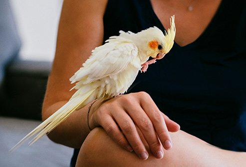 Infected pet birds like cockatiels and parrots, or farm birds like chickens and turkeys, may have the bacteria in their pee, poop, or spit.