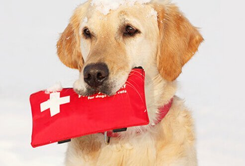An avalanche dog covered in snow holds a first aid kit.