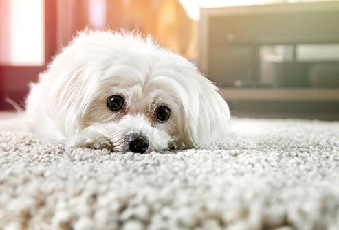 Keeping carpets clean can protect you from home allergies.