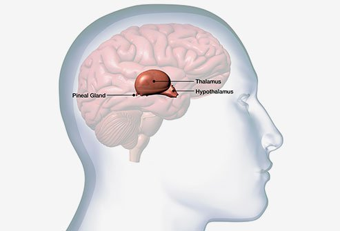 The pineal gland is a small endocrine gland that is located in the brain.