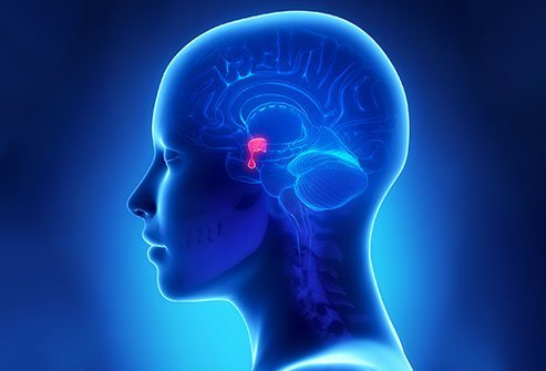 The pituitary gland is a small structure located at the base of the brain.