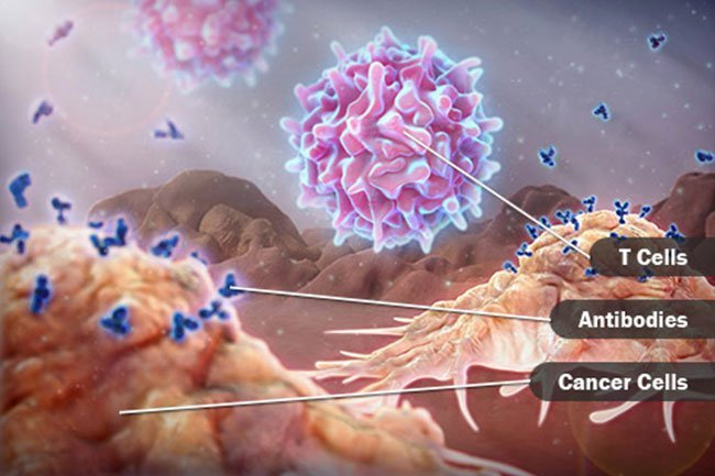 T cells are one main type of lymphocyte.