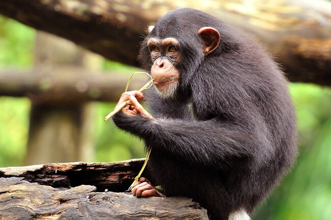 Chimpanzees favor different hands for different tasks.