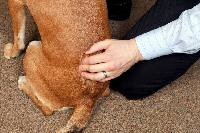 Dogs or cats who have a slipped disk or pinched nerve may benefit from chiropractic.