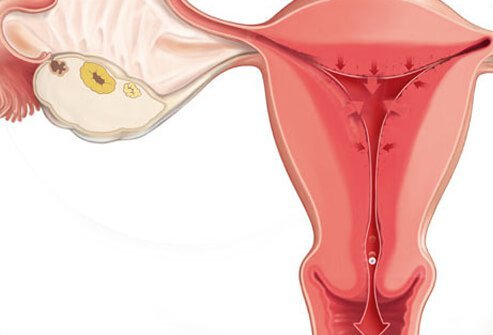 Progesterone released in the second half of the menstrual cycle prepares the uterine lining for pregnancy.