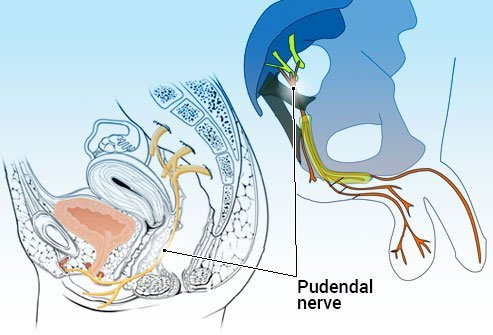 The pudendal nerve is the nerve of the perineum, the area between the anus and vulva in women or the scrotum in men.