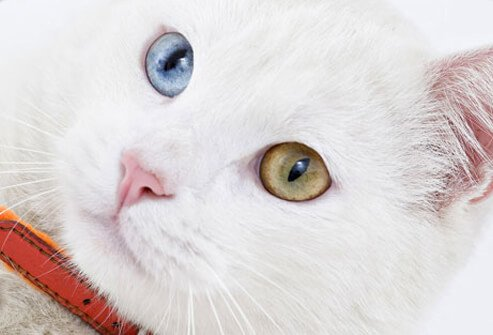 A cat with blue and green eyes.