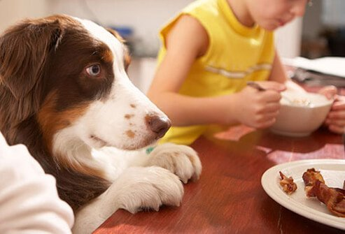 Dog begging at table