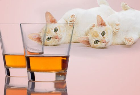 Two kittens looking at two shots of whiskey