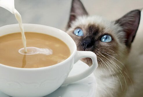 Cat watching cream pouring into coffee