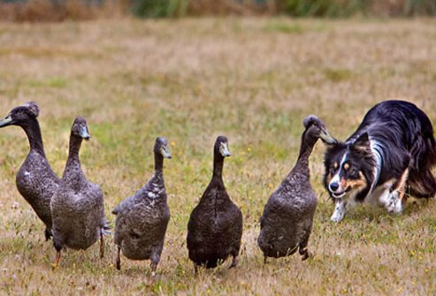 Some dogs will try to herd anything -- cats, ducks, even kids.