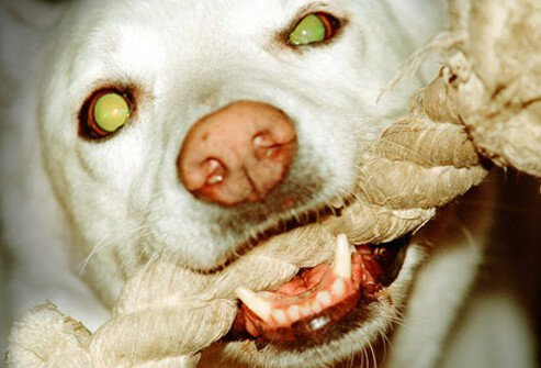 Dog eyes naturally glow in the dark, because they're different from human eyes.