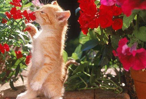 Kitten sniffing red potted flowers