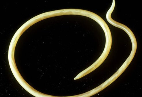 Common roundworm, toxocara canis