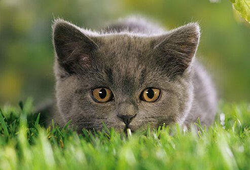 Kitten in grass about to pounce