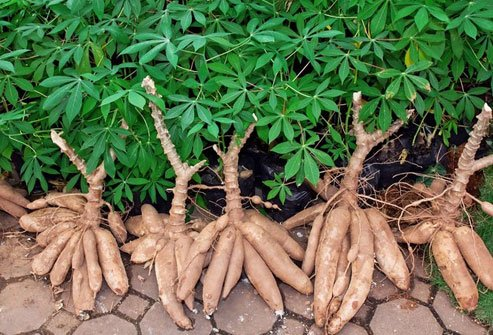 Like bitter almonds and lima beans, raw cassava has traces of cyanide.