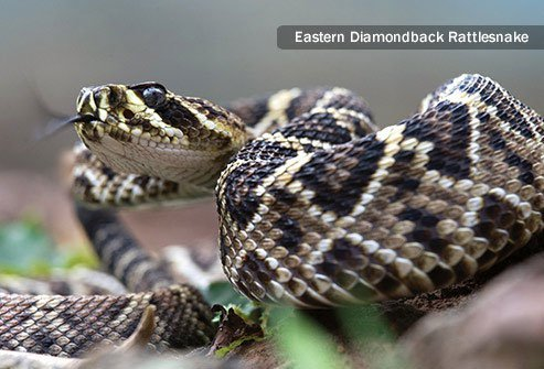 Far and away the most common venomous snake to bite humans in the United States is one that belongs to the pit viper family.