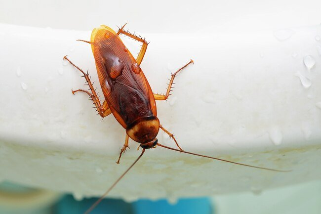 Cockroach dropping can trigger asthma and allergies.