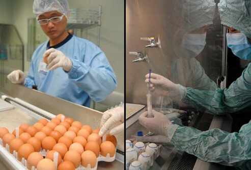 Researchers sort through eggs used for the cultivation of swine flu vaccine (left). A researcher begins preparation work with chicken eggs for producing H1N1 influenza vaccine (right).