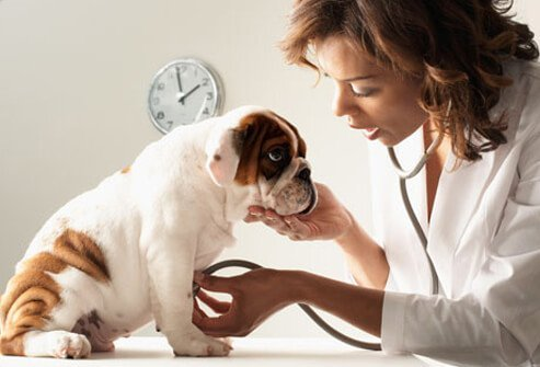 Veterinarian Checking Puppies Heart Rate.