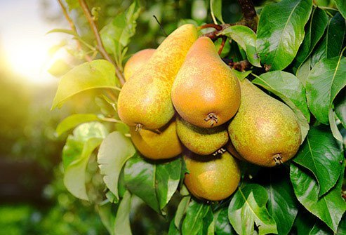One medium pear has 17 grams of sugar.
