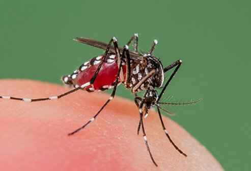 The Aedes species of mosquito carries the Zika virus.