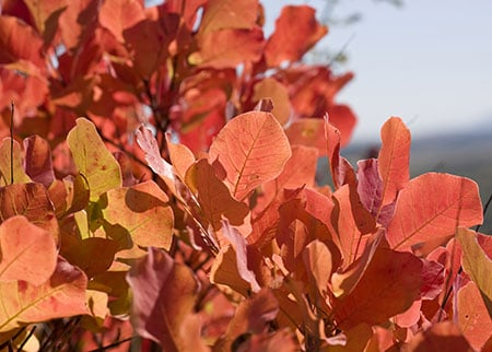 Picture of poison sumac